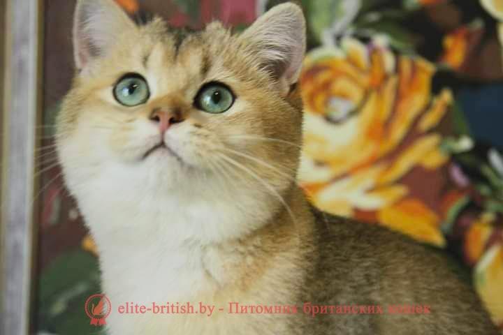Британская кошка Red Fish of Blasca (BRI ny 11) (BRI ny 1)