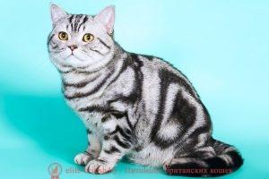 Британский кот серебристый мраморный CH. LIBERO MUSTICAT SILVER