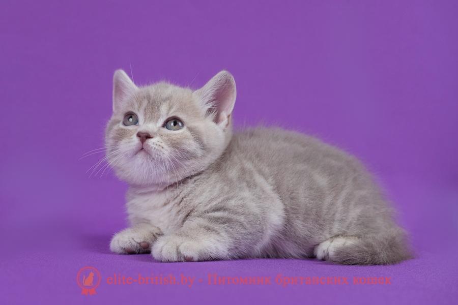 купить британского котенка, купить британца, британская кошка фавн, британский кот фавн, британцы фавн, окрас фавн британских кошек, британская кошка фавн, британский кот фавн, британцы фавн, окрас фавн британских кошек? лиловый британец,  британец лиловый фото, фото лиловых британцев, британский лиловый котенок,  британские коты лилового окраса фото, фото лиловых британских котят,  британские котята фото лиловые, британская кошка фото лиловая, фото лиловой британской кошки, британские котята лилового окраса фото, лиловая британская кошка, британский лиловый кот фото, британские котята лилового окраса, лиловый окрас британских кошек фото, лиловый британский кот, кот британец лиловый фото, лиловый окрас британских кошек, британцы лилового окраса, британец лилового цвета