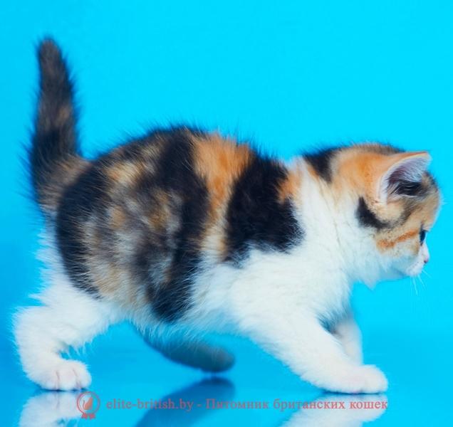купить британского котенка, купить британца, черная черепаха биколор британский котенок, черно-красная черепаха британец, британский черный калико, британский черный триколор, биколор британская кошка, кот британский биколор, британский котенок биколор, черный биколор британец, биколор британец, британские котята биколор фото, британцы биколор фото
