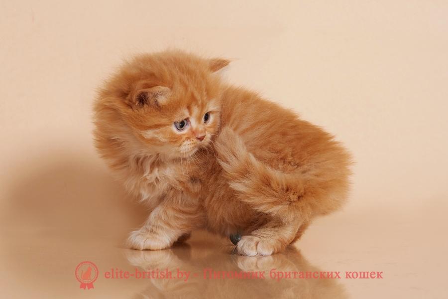 рыжий британский кот, рыжий британец фото, рыжие британские котята фото, британский кот рыжий фото, рыжий британец, британские рыжие котята, рыжий британец кот, британская кошка рыжая, котята британцы рыжие фото, британцы рыжего окраса, котенок рыжий британец, британская короткошерстная кошка рыжая, британский кот рыжего окраса, британские котята рыжего окраса, британцы красного окраса, красный британец, красные британцы, британская красная кошка, британский кот красный, красные британские коты, красный окрас британских кошек, британский кот красного окраса, красный британец фото, фото красных британцев, красный окрас британских кошек, британец красного окраса, британский кот красного окраса, британец рыжего окраса, британский кот рыжего окраса, британские котята рыжего окраса