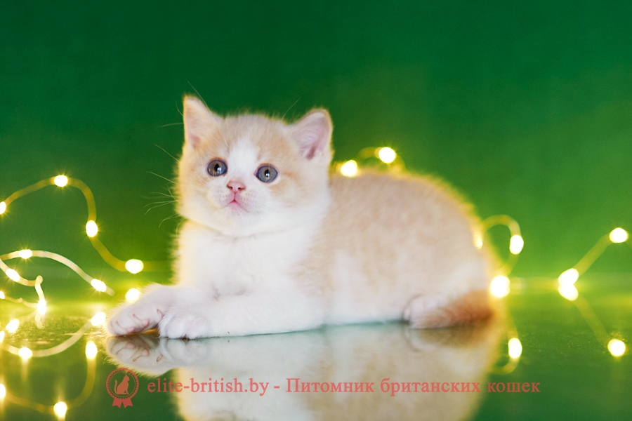 биколор британская кошка, кот британский биколор, британский котенок биколор, голубой биколор британец, биколор британец, британские котята биколор фото, британцы биколор фото, рыжий британский кот, рыжий британец фото, рыжие британские котята фото, британский кот рыжий фото, рыжий британец, британские рыжие котята, рыжий британец кот, британская кошка рыжая, котята британцы рыжие фото, британцы рыжего окраса, котенок рыжий британец, британская короткошерстная кошка рыжая, британский кот рыжего окраса, британские котята рыжего окраса, британцы красного окраса, красный британец, красные британцы, британская красная кошка, британский кот красный, красные британские коты, бежевые британцы, бежевый британец фото, кошки британские бежевые, бежевые британские коты, британские котята кремовые фото, британские кремовые коты фото, кремовый британец фото, британские котята кремового окраса фото, британец персикового цвета фото