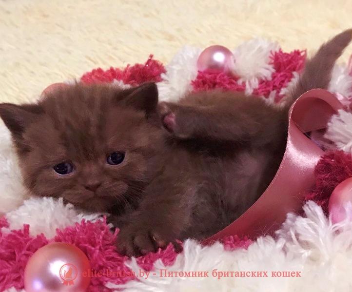 купить британского котенка, купить британца, шоколадные британцы фото, британские кошки шоколадного окраса фото, британские шоколадные котята фото, шоколадный британец, британские кошки шоколадный окрас, котенок британец шоколадный, британская шоколадная кошка фото, британский шоколадный кот фото, шоколадные британцы котята фото, шоколадная британская кошка, шоколадный британский кот, британец кот шоколадный, британские коты шоколадного окраса, британские коты шоколадного окраса фото, британские котята шоколадного окраса фото, шоколадный британский котенок, кошки британцы шоколадные, британец шоколадного цвета, британский котенок шоколадного окраса, британцы окрас шоколадный, британская кошка шоколадного окраса фото, британские котята шоколадного окраса фото, британский кот шоколадного окраса фото, британцы шоколадного окраса фото, британцы коричневого цвета, кошки британские коричневые, британские коричневые котята фото, британский кот коричневый, коричневый британец, коричневые британские котята, кот британец коричневый, британские кошки коричневого окраса