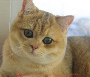Британский кот золотого окраса Ness