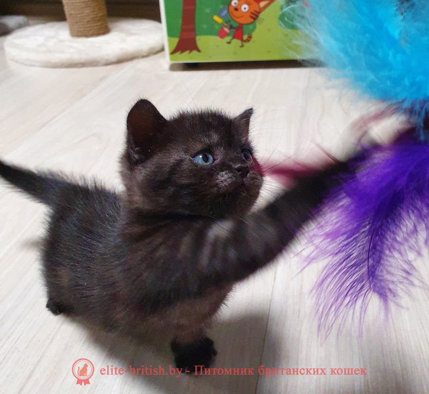 британец черный дым, британский кот черный дым, британские котята черный дым, черный дым британская кошка фото, британцы черный дым фото, кошка британская черный дым, британские котята окрас черный дым, британские котята черный дым фото