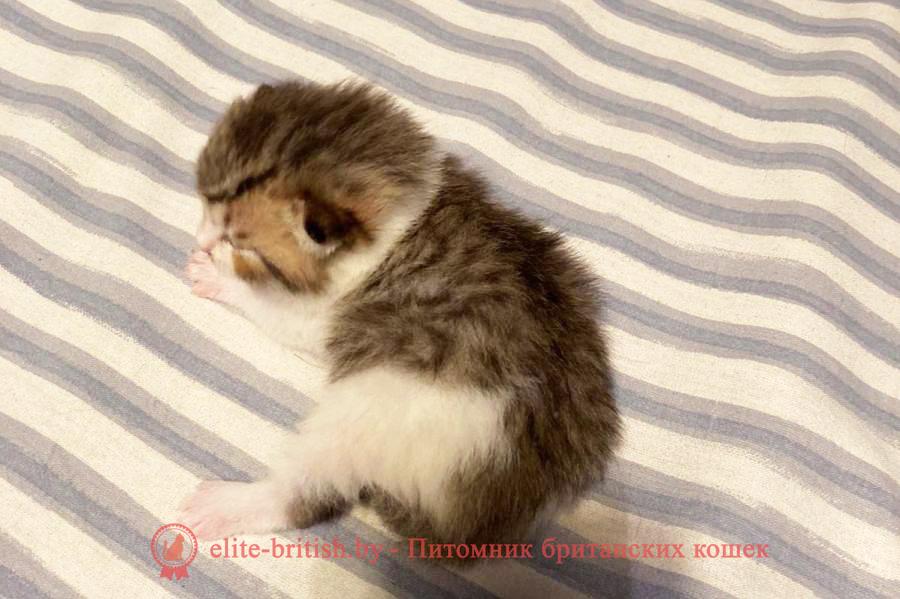 черный пятнистый биколор британец, черный пятнистый биколор британский котенок, черный табби биколор британец, черный табби биколор британский котенок, биколор британская кошка, кот британский биколор, британский котенок биколор, черный биколор британец, биколор британец, британские котята биколор фото, британцы биколор фото