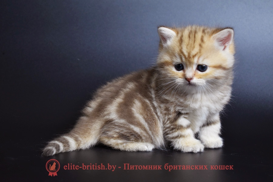 золотой мраморный британский кот, золотые мраморный британцы фото, золотой мраморный британец, британская кошка золотая шиншилла, британский кот шиншилла золотая, золотой мраморный британец, британец золотая шиншилла, британец золотистый, котята британские окрас золотая шиншилла, британская кошка золотая шиншилла фото, британец окрас золотая шиншилла фото, британский золотой котенок, британская золотая кошка, британские котята золотая шиншилла, британский золотистый кот, кот золотой британец, британцы окрас золотой, британцы окрас золотая шиншилла, котята британцы золотая шиншилла, золотистые британские котята, британские котята золотого окраса,