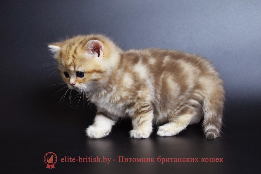 золотой мраморный британский котенок, золотой мраморный британец, золотой британский кот, золотые британцы фото, золотой британец, британская кошка золотая шиншилла, британский кот шиншилла золотая, золотой тикированный британец, британец золотая шиншилла, британец золотистый, котята британские окрас золотая шиншилла, британская кошка золотая шиншилла фото, британец окрас золотая шиншилла фото, британский золотой котенок, британская золотая кошка, британские котята золотая шиншилла, британский золотистый кот, кот золотой британец, британцы окрас золотой, британцы окрас золотая шиншилла, котята британцы золотая шиншилла, золотистые британские котята, британские котята золотого окраса, британцы золотая шиншилла фото, золотой окрас британских кошек, британцы золотого окраса, британские котята золотого окраса, британец окрас золотая шиншилла, британские котята окраса золотая шиншилла, питомник британских кошек золотых окрасов, британец окрас золотая шиншилла фото, затушеванный британец, серебристый затушеванный британец, кошки британские серебристые, британская короткошерстная окраса серебро, золотой тикированный британец, британская кошка тикированная, тикированный британец