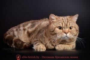 Британский кот шоколадный мраморный I.CH. RAIDON АIRIS (BRI b 22)