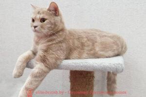 Британская кошка фавн мраморного окраса Sylvia