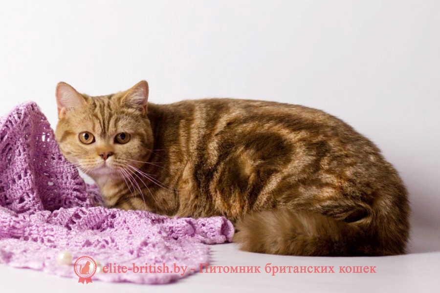 британец циннамон мраморный, британский кот циннамон мраморный, британская кошка циннамон мрамор, британский короткошерстный котенок цвета корицы, британские котята цвета корицы, британский короткошерстный котенок цвета корицы, британские котята цвета корицы, циннамон британец, британские кошки циннамон, британский кот циннамон, британские котята циннамон, британцы окраса циннамон, циннамон британец фото, британский кот мраморный, мраморный британец, мраморный окрас британских котят, британский кот мраморного окраса, мраморный окрас британской кошки, британец мраморного окраса, котята британцы мраморный окрас, мраморный окрас британских котят, серебристый мраморный британец, британская мраморная кошка характер, британский кот мраморного окраса, британец голубой мрамор, британец черный мрамор на серебре, красный мраморный британец, британская мраморная кошка