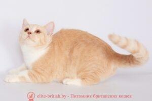 британская кошка кремовый биколор K-Rajna Lukosan (BRI e 09)