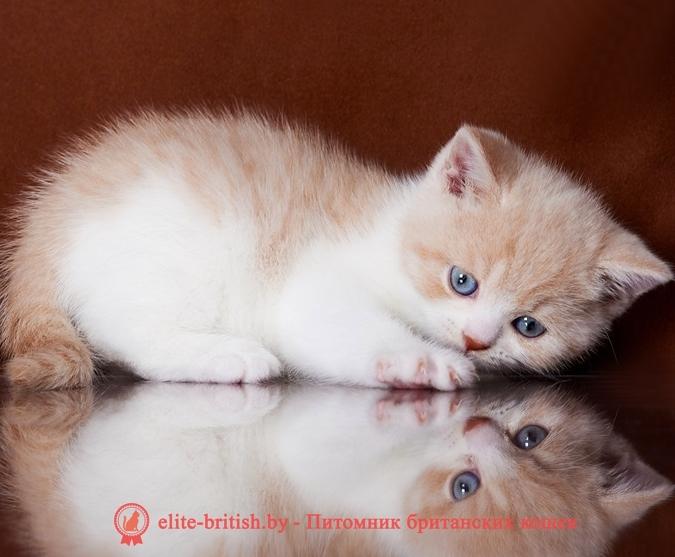 купить британского котенка, купить британца, биколор британская кошка, кот британский биколор, британский котенок биколор, голубой биколор британец, биколор британец, британские котята биколор фото, британцы биколор фото, рыжий британский кот, рыжий британец фото, рыжие британские котята фото, британский кот рыжий фото, рыжий британец, британские рыжие котята, рыжий британец кот, британская кошка рыжая, котята британцы рыжие фото, британцы рыжего окраса, котенок рыжий британец, британская короткошерстная кошка рыжая, британский кот рыжего окраса, британские котята рыжего окраса, британцы красного окраса, красный британец, красные британцы, британская красная кошка, британский кот красный, красные британские коты, бежевые британцы, бежевый британец фото, кошки британские бежевые, бежевые британские коты, британские котята кремовые фото, британские кремовые коты фото, кремовый британец фото, британские котята кремового окраса фото, британец персикового цвета фото