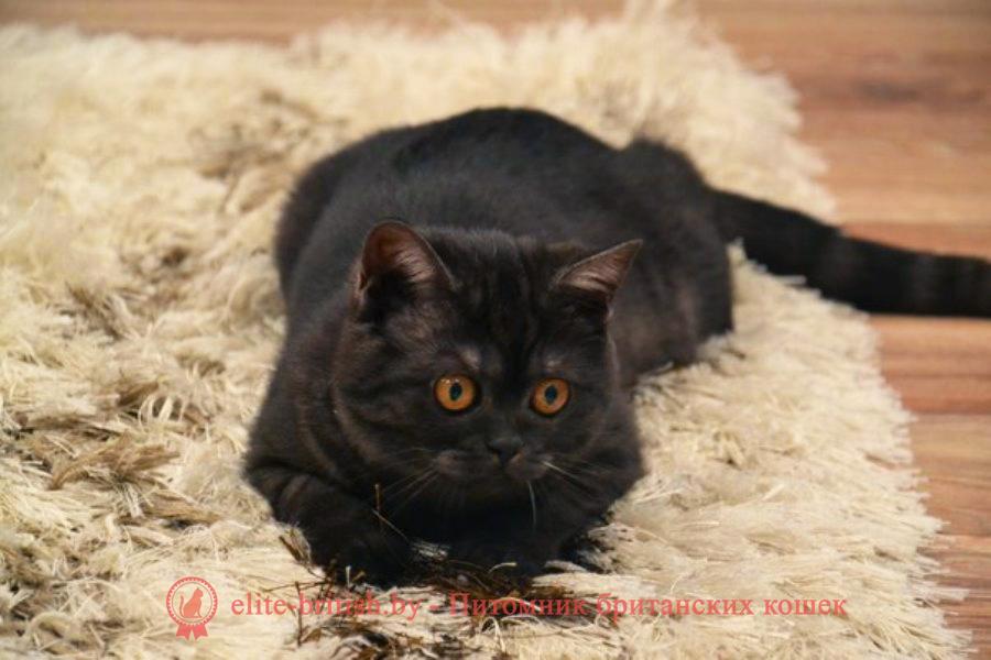 британские кошки дымчатые, дымчатые британцы, британский дымчатый кот, британская кошка дымчатого окраса, британец дымчатый фото