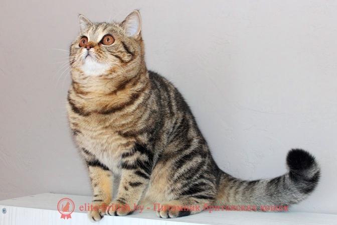 британские кошки питомника