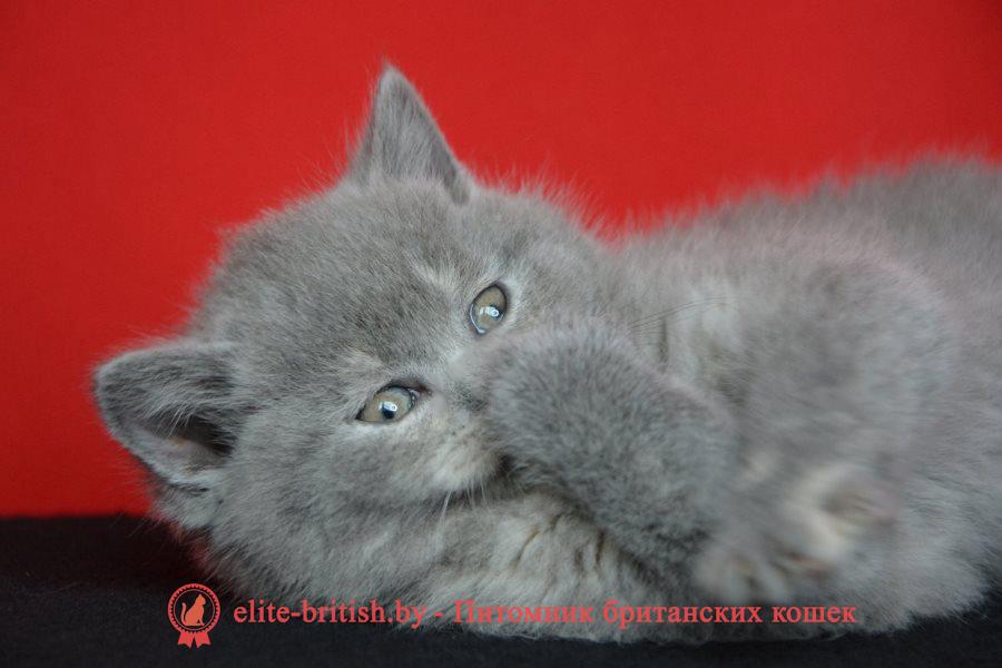 купить британского котенка, купить британца, британец голубой фото, голубые британцы фото, британский кошки голубой, британская голубая кошка, британская голубая кошка фото, британской голубой кошки фото, кот британский голубой, британские котята черепахового окраса фото, черепаховый окрас британской кошки фото, черепаховый британец, британская черепаховая кошка фото, британцы черепахового окраса фото, кошки британские черепахового окраса, черепаховый британский кот, британские коты черепахового окраса, британская черепаховая кошка, коты британские голубые, голубые британские котята фото, британский голубой котенок фото, британский голубой кот фото, фото британского голубого кота, окрас британских котят голубой фото, британские котята голубого окраса фото, британцы коты фото голубые