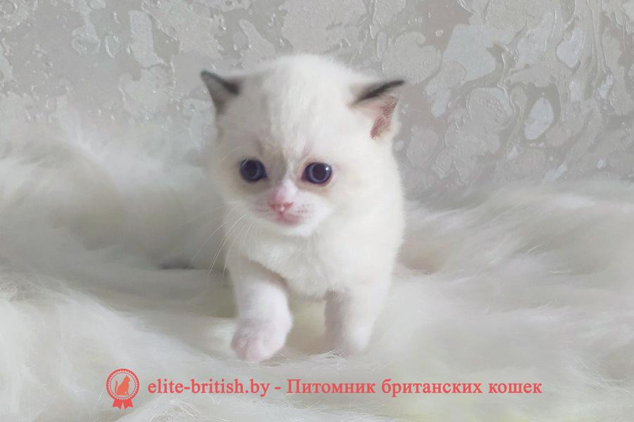 британский кот блю поинт, британец колор поинт, британская кошка поинт колор, ританский кот поинт, британские котята поинт, британские котята блю поинт, ританские котята колор поинт, блю поинт британец, британцы лилак поинт, британец поинт, британские котята сил поинт, британские кошки блю поинт, британские котята окраса блю поинт, британец блю поинт фото, британец колор поинт фото, британская кошка колор поинт фото, блю пойнт британские кошки, британские кошки колор пойнт, шоколадный пойнт британские котята, шоколадный пойнт британцы, колор пойнт британец, кот британский колор пойнт, британские котята колор пойнт