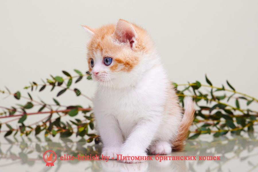 биколор британская кошка, кот британский биколор, британский котенок биколор, голубой биколор британец, биколор британец, британские котята биколор фото, британцы биколор фото, рыжий британский кот, рыжий британец фото, рыжие британские котята фото, британский кот рыжий фото, рыжий британец, британские рыжие котята, рыжий британец кот, британская кошка рыжая, котята британцы рыжие фото, британцы рыжего окраса, котенок рыжий британец, британская короткошерстная кошка рыжая, британский кот рыжего окраса, британские котята рыжего окраса, британцы красного окраса, красный британец, красные британцы, британская красная кошка, британский кот красный, красные британские коты, красный окрас британских кошек, британский кот красного окраса, красный британец фото, фото красных британцев, красный окрас британских кошек, британец красного окраса, британский кот красного окраса, британец рыжего окраса, британский кот рыжего окраса, британские котята рыжего окраса,