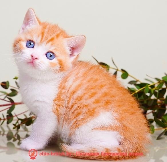 купить британского котенка, купить британца, биколор британская кошка, кот британский биколор, британский котенок биколор, голубой биколор британец, биколор британец, британские котята биколор фото, британцы биколор фото, рыжий британский кот, рыжий британец фото, рыжие британские котята фото, британский кот рыжий фото, рыжий британец, британские рыжие котята, рыжий британец кот, британская кошка рыжая, котята британцы рыжие фото, британцы рыжего окраса, котенок рыжий британец, британская короткошерстная кошка рыжая, британский кот рыжего окраса, британские котята рыжего окраса, британцы красного окраса, красный британец, красные британцы, британская красная кошка, британский кот красный, красные британские коты, красный окрас британских кошек, британский кот красного окраса, красный британец фото, фото красных британцев, красный окрас британских кошек, британец красного окраса, британский кот красного окраса, британец рыжего окраса, британский кот рыжего окраса, британские котята рыжего окраса,