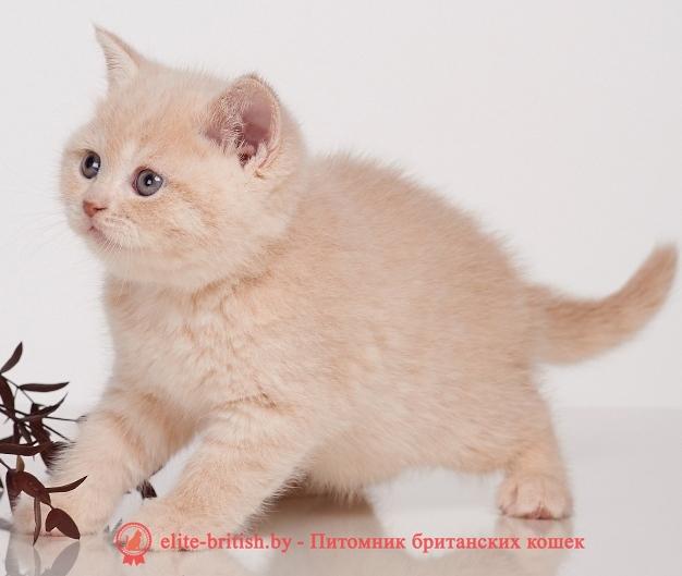 купить британского котенка, купить британца, бежевые британцы, бежевый британец фото, кошки британские бежевые, бежевые британские коты, британские котята кремовые фото, британские кремовые коты фото, кремовый британец фото, британские котята кремового окраса фото, британец персикового цвета фото, британские котята персиковые фото, британские персиковые котята, британец персиковый, британец персиковый фото, британцы персикового окраса, британские котята кремового окраса, кремовый окрас британских кошек, британцы кремового окраса, британский кот кремового окраса, британская кошка кремовый окрас фото, британские котята кремового окраса фото