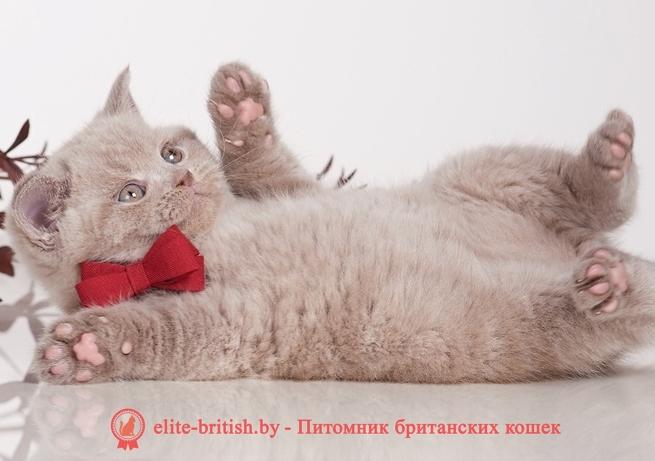 купить британского котенка, купить британца, британская кошка фавн, британский кот фавн, британцы фавн, окрас фавн британских кошек, британская кошка фавн, британский кот фавн, британцы фавн, окрас фавн британских кошек, лиловый британец, британец лиловый фото, фото лиловых британцев, британский лиловый котенок, британские коты лилового окраса фото, фото лиловых британских котят, британские котята фото лиловые, британская кошка фото лиловая, фото лиловой британской кошки, британские котята лилового окраса фото, лиловая британская кошка, британский лиловый кот фото, британские котята лилового окраса, лиловый окрас британских кошек фото, лиловый британский кот, кот британец лиловый фото, лиловый окрас британских кошек, британцы лилового окраса, британец лилового цвета