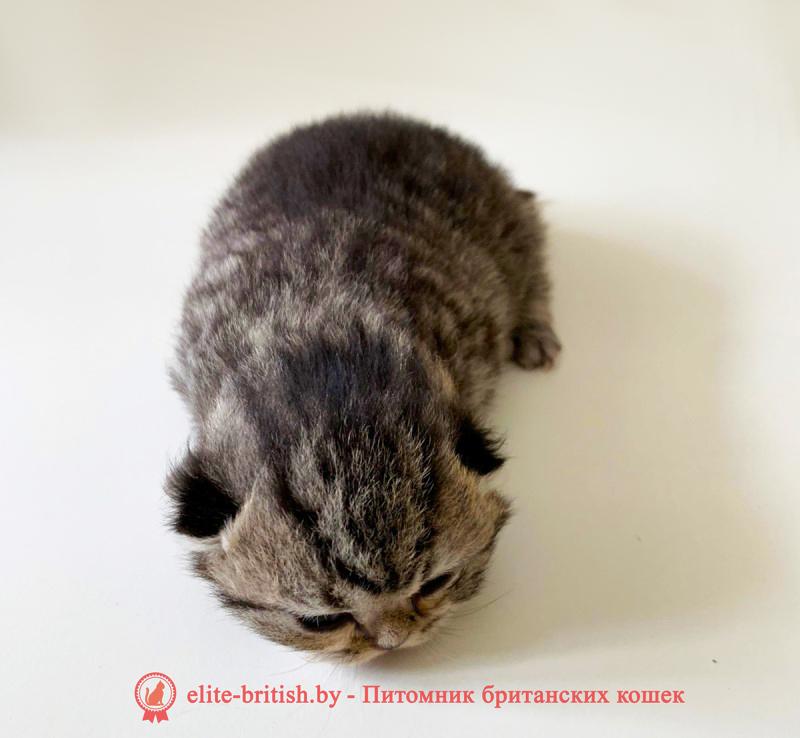 купить британского котенка, купить британца, тигровая британская кошка, британец тигровый, британец табби тигровый, тигровый британский котенок, британский котенок тигрового окраса, британская тигровая кошка фото, тигровые британские котята фото, британский кот мраморный, мраморный британец, мраморный окрас британских котят, британский кот мраморного окраса