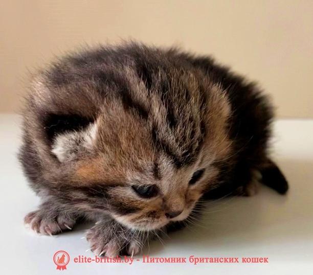 купить британского котенка, купить британца, тигровая британская кошка, британец тигровый, британец британские котята табби, британские кошки табби, короткошерстная британская кошка серебристый табби, табби британец, британский кот мраморный, мраморный британец, мраморный окрас британских котят, британский кот мраморного окраса