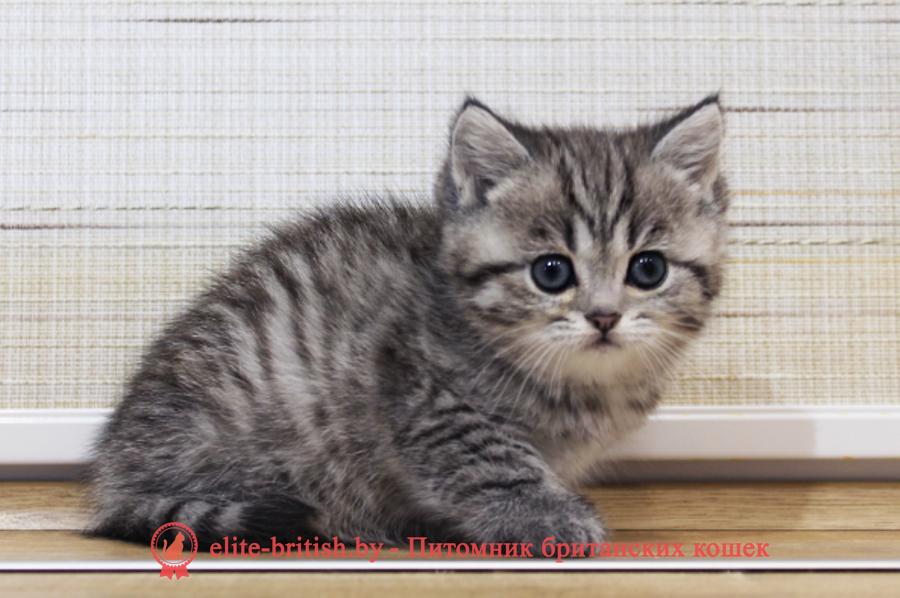 купить британского котенка, купить британца, тигровая британская кошка, британец тигровый, британец табби тигровый, тигровый британский котенок, британский котенок тигрового окраса, британская тигровая кошка фото, тигровые британские котята фото