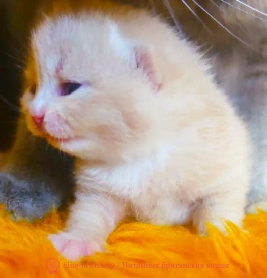 купить британского котенка, купить британца, биколор британская кошка, кот британский биколор, британский котенок биколор, кремовый биколор британец, биколор британец, британские котята биколор фото, британцы биколор фото, рыжий британский кот, рыжий британец фото, рыжие британские котята фото, британский кот рыжий фото, рыжий британец, британские рыжие котята, рыжий британец кот, британская кошка рыжая, котята британцы рыжие фото, британцы рыжего окраса, котенок рыжий британец, британская короткошерстная кошка рыжая, британский кот рыжего окраса, британские котята рыжего окраса, британцы красного окраса, красный британец, красные британцы, британская красная кошка, британский кот красный, красные британские коты, бежевые британцы, бежевый британец фото, кошки британские бежевые, бежевые британские коты, британские котята кремовые фото, британские кремовые коты фото, кремовый британец фото, британские котята кремового окраса фото, британец персикового цвета фото