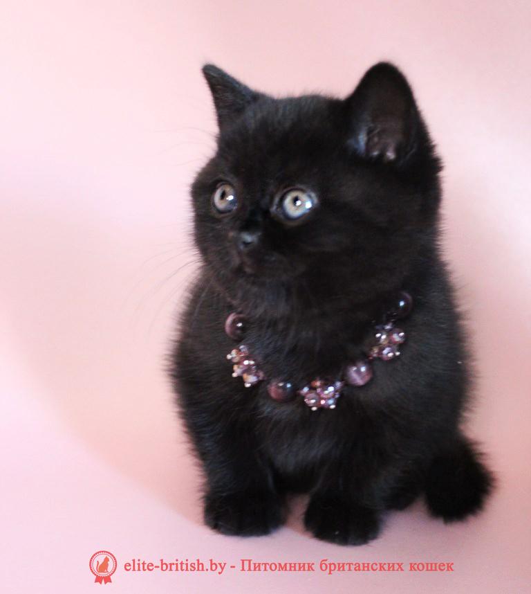 купить британского котенка, купить британца, британец черный фото, черные британцы фото, черный британский кот фото, черные британские коты фото, черная британская кошка, черная британская кошка фото, черный британский кот, черные британские коты, британский черный котенок, черные британские котята, кот британец черный фото, черные коты британцы фото, черный британец, британцы черные, британские котята черного окраса, черный британец котенок, котята британцы черные, фото черного британского котенка, черные британские котята фото, британцы коты черные, черный британец кот, британец черный мрамор на серебре, британские коты черного окраса фото, британец черного цвета, черная кошка британец, кот британец черно белый, британец черного цвета, британские кошки окрас черный