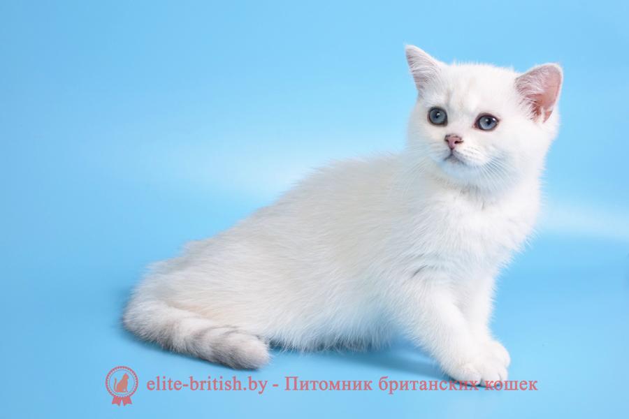 белый британский с голубыми глазами, британский котенок серебристый поинт, британец серебристый поинт, британский кот серебристый, серебристый британец фото, серебристые британцы, британские серебристые котята, затушеванный британец, серебристый затушеванный британец, кошки британские серебристые, британская короткошерстная окраса серебро, британцы серебристая шиншилла, котята британские серебристые шиншиллы, британский кот серебристая шиншилла, британские кошки серебристая шиншилла, британская окрас серебристая шиншилла, затушеванный британец, серебристый затушеванный британец, кошки британские серебристые, британская короткошерстная окраса серебро, британская кошка тикированная, тикированный британец