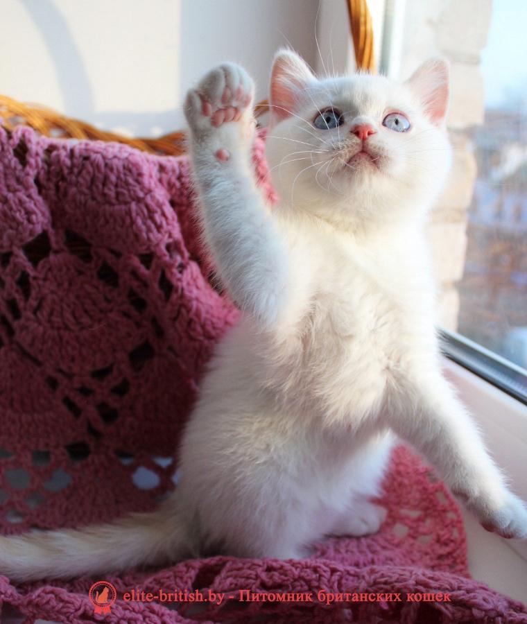 купить британского котенка, купить британца, британский кот блю поинт, британец колор поинт, британская кошка поинт колор, ританский кот поинт, британские котята поинт, британские котята блю поинт, ританские котята колор поинт, блю поинт британец, британцы лилак поинт, британец поинт, британские котята сил поинт, британские кошки блю поинт, британские котята окраса блю поинт, британец блю поинт фото, британец колор поинт фото, британская кошка колор поинт фото, блю пойнт британские кошки, британские кошки колор пойнт, блю пойнт британские котята, блю пойнт британцы, колор пойнт британец, кот британский колор пойнт, британские котята колор пойнт
