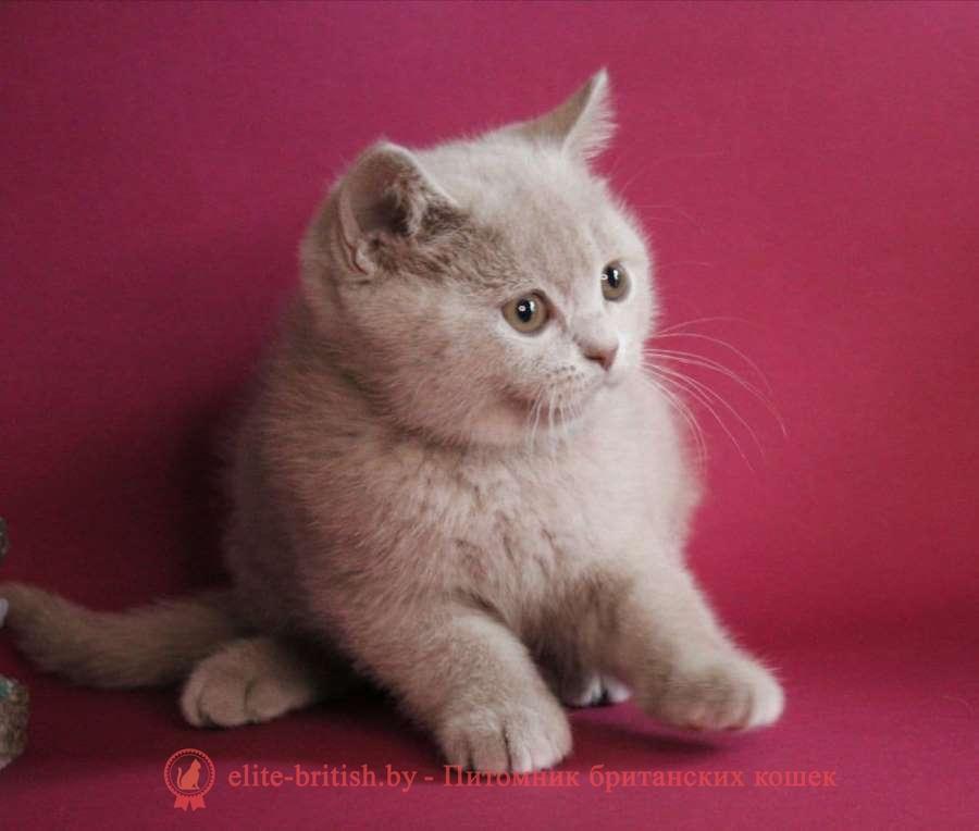 британская кошка фавн, британский кот фавн, британцы фавн, окрас фавн британских кошек, британская кошка фавн, британский кот фавн, британцы фавн, окрас фавн британских кошек