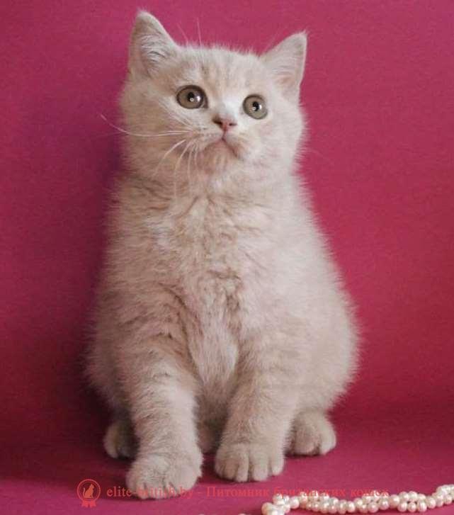 купить британского котенка, купить британца, британская кошка фавн, британский кот фавн, британцы фавн, окрас фавн британских кошек, британская кошка фавн, британский кот фавн, британцы фавн, окрас фавн британских кошек
