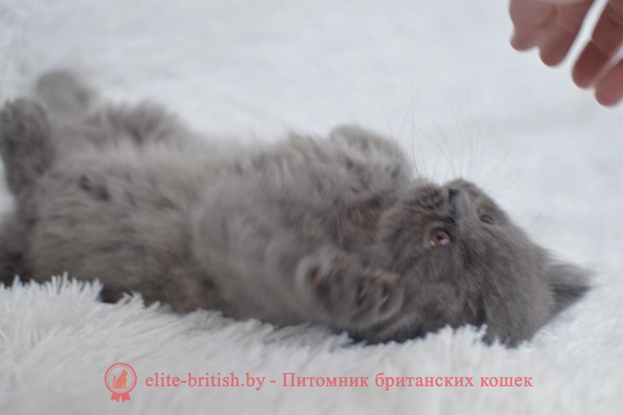 купить длинношерстного британского котенка, купить длинношерстного британца, британец длинношерстный голубой фото, голубые длинношерстные британцы фото, британские длинношерстные кошки голубой, британская длинношерстная голубая кошка, британская голубая длинношерстная кошка фото, британской голубой кошки фото, кот британский голубой, коты британские голубые, голубые британские котята фото, британский голубой котенок фото, британский голубой кот фото, фото британского голубого кота, окрас британских котят голубой фото, британские котята голубого окраса фото, британцы коты фото голубые