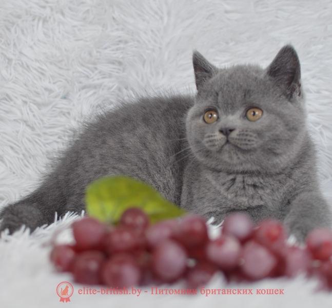 купить британского котенка, купить британца, купить британского котенка, купить британца, британец голубой фото, голубые британцы фото, британский кошки голубой, британская голубая кошка, британская голубая кошка фото, британской голубой кошки фото, кот британский голубой, коты британские голубые, голубые британские котята фото, британский голубой котенок фото, британский голубой кот фото, фото британского голубого кота, окрас британских котят голубой фото, британские котята голубого окраса фото, британцы коты фото голубые
