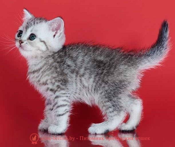 купить британского котенка, купить британца, купить британского котенка, купить британца, тигровая британская кошка, британец тигровый, британец табби тигровый, тигровый британский котенок, британский котенок тигрового окраса, британская тигровая кошка фото, тигровые британские котята фото, британский кот мраморный, мраморный британец, мраморный окрас британских котят, британский кот мраморного окраса