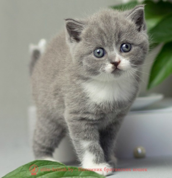 купить британского котенка, купить британца, биколор британская кошка, кот британский биколор, британский котенок биколор, голубой биколор британец, биколор британец, британские котята биколор фото, британцы биколор фото, купить британского котенка, купить британца, британец голубой фото, голубые британцы фото, британский кошки голубой, британская голубая кошка, британская голубая кошка фото, британской голубой кошки фото, кот британский голубой, коты британские голубые, голубые британские котята фото, британский голубой котенок фото, британский голубой кот фото, фото британского голубого кота, окрас британских котят голубой фото, британские котята голубого окраса фото, британцы коты фото голубые