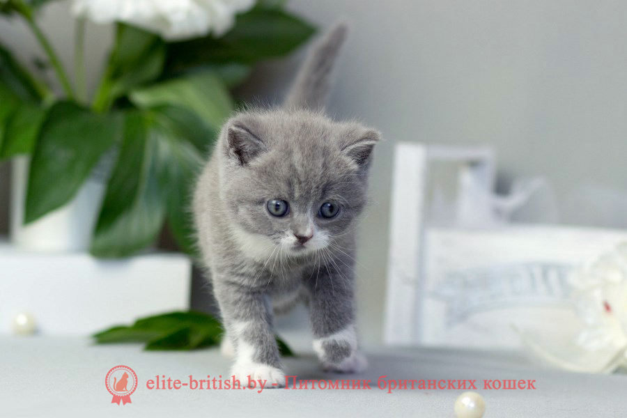 биколор британская кошка, кот британский биколор, британский котенок биколор, голубой биколор британец, биколор британец, британские котята биколор фото, британцы биколор фото, купить британского котенка, купить британца, британец голубой фото, голубые британцы фото, британский кошки голубой, британская голубая кошка, британская голубая кошка фото, британской голубой кошки фото, кот британский голубой, коты британские голубые, голубые британские котята фото, британский голубой котенок фото, британский голубой кот фото, фото британского голубого кота, окрас британских котят голубой фото, британские котята голубого окраса фото, британцы коты фото голубые