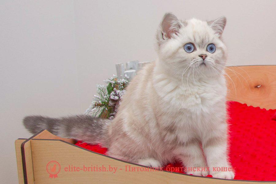 британский кот блю поинт, британец колор поинт, британская кошка поинт колор, британский кот поинт, британские котята поинт, британские котята блю поинт, ританские котята колор поинт, блю поинт британец, британцы лилак поинт, британец поинт, британские котята сил поинт, британские кошки блю поинт, британские котята окраса блю поинт, британец блю поинт фото, британец колор поинт фото, британская кошка колор поинт фото, блю пойнт британские кошки, британские кошки колор пойнт, блю пойнт британские котята, блю пойнт британцы, колор пойнт британец, кот британский колор пойнт, британские котята колор пойнт