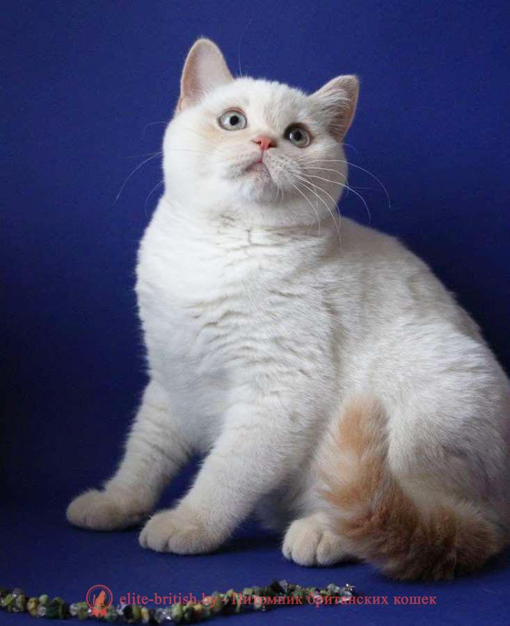 купить британского котенка, купить британца, британский кот блю поинт, британец колор поинт, британская кошка поинт колор, ританский кот поинт, британские котята поинт, британские котята блю поинт, ританские котята колор поинт, блю поинт британец, британцы лилак поинт, британец поинт, британские котята сил поинт, британские кошки блю поинт, британские котята окраса блю поинт, британец блю поинт фото, британец колор поинт фото, британская кошка колор поинт фото, блю пойнт британские кошки, британские кошки колор пойнт, блю пойнт британские котята, блю пойнт британцы, колор пойнт британец, кот британский колор пойнт, британские котята колор пойн