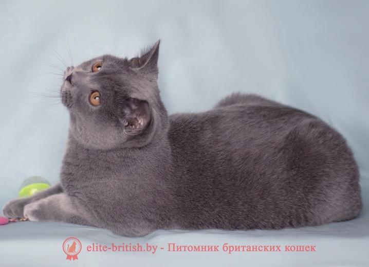 купить британского котенка, купить британца, лиловый британец, британец лиловый фото, фото лиловых британцев, британский лиловый котенок, британские коты лилового окраса фото, фото лиловых британских котят, британские котята фото лиловые, британская кошка фото лиловая, фото лиловой британской кошки, британские котята лилового окраса фото, лиловая британская кошка, британский лиловый кот фото, британские котята лилового окраса, лиловый окрас британских кошек фото, лиловый британский кот, кот британец лиловый фото, лиловый окрас британских кошек, британцы лилового окраса, британец лилового цвета