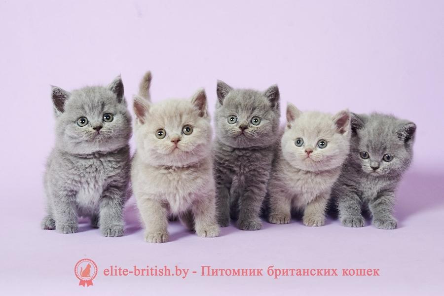 вес британского кота, вес британского котенка по месяцам, вес британского котенка по месяцам таблица, вес британской кошки таблица по возрасту, вес британской кошки, сколько должен весить британский кот, сколько весят британские коты, британские коты вес взрослого кота, вес британского кота по месяцам таблица, вес котенка по месяцам британец, вес британского котенка, коты британцы вес, сколько весит британская кошка, таблица веса британских котов, вес британской кошки по месяцам, норма веса британской кошки, сколько весит взрослый британский кот, британская кошка вес и размер