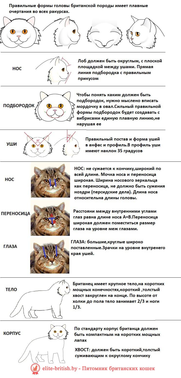британская длинношерстная кошка фото описание породы, стандарты