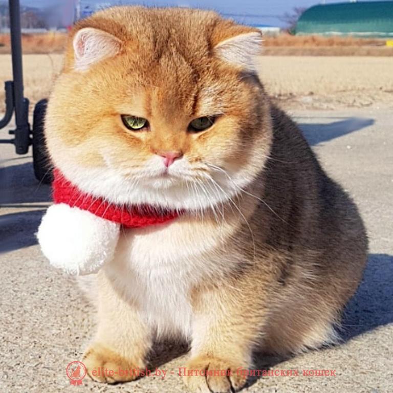 толстый британский кот, толстые коты британцы, толстые британские коты фото, толстые коты британцы фото, британская кошка толстая, толстый британский вислоухий кот, самый толстый британский кот, самый толстый кот британец