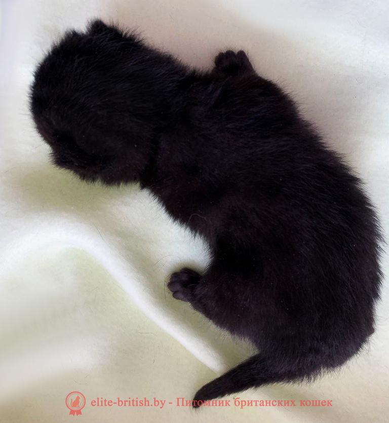 купить британского котенка, купить британца, британец черный фото, черные британцы фото, черный британский кот фото, черные британские коты фото, черная британская кошка, черная британская кошка фото, черный британский кот, черные британские коты, британский черный котенок, черные британские котята, кот британец черный фото, черные коты британцы фото, черный британец, британцы черные, британские котята черного окраса, черный британец котенок, котята британцы черные, фото черного британского котенка, черные британские котята фото, британцы коты черные, черный британец кот, британец черный мрамор на серебре, британские коты черного окраса фото, британец черного цвета, черная кошка британец, кот британец черно белый, британец черного цвета, британские кошки окрас черный, британцы черный окрас, британские кошки черный мрамор, британский кот черный мрамор, британский котенок черный мрамор, черный мраморный британец, черный мрамор британцы, котята британцы черные фото, черный британец котенок фото, британцы черного окраса фото, кошки британцы черные фото, британские кошки черного окраса фото, фото британских котят черного окраса, британская кошка черного окраса, британская черный окрас, британские котята черного окраса, британские котята черного окраса фото, британские кошки черного окраса фото, британский кот черного окраса фото, британцы черного окраса, британцы черного окраса фото