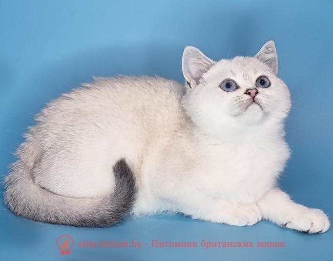 британские затушеванные пойнт кошки, золотой затушеванный британский пойнт кот, британская короткошерстная серебристая затушеванная пойнт, британская кошка колор пойнт, британские коты колор пойнт, британский кот колор пойнт с голубыми глазами, кот колор пойнт британский фото, британская кошка колор пойнт фото, купить котенка британца окрас колор пойнт, британский котенок колор пойнт, британская кошка окраса поинт, британская короткошерстная колор пойнт, колор поинт окрас у кошек британской, британские котята колор пойнт продажа севастополь, британские котята поинт, британский кот поинт колор, британская кошка поинт, британская кошка поинт колор, кот британец колор пойнт, британская кошка окраса колор пойнт, котята британские окраса колор пойнт, британская кошка окрас пойнт, британская кошка пойнт, британские котята пойнт, британский кот поинт