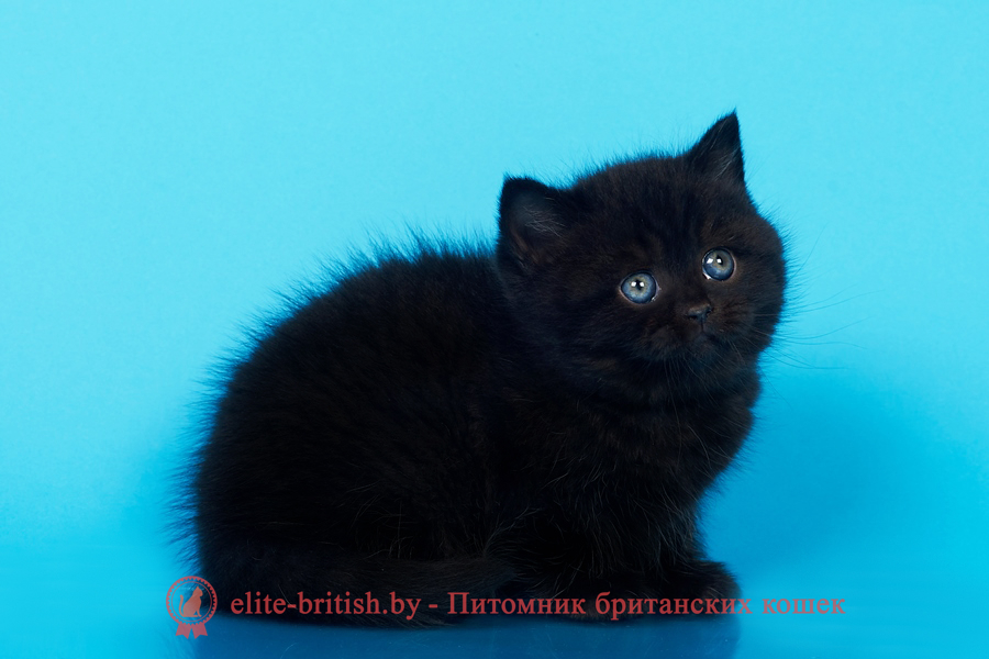 британец черный фото, черные британцы фото, черный британский кот фото, черные британские коты фото, черная британская кошка, черная британская кошка фото, черный британский кот, черные британские коты, британский черный котенок, черные британские котята, кот британец черный фото, черные коты британцы фото, черный британец, британцы черные, британские котята черного окраса, черный британец котенок, котята британцы черные, фото черного британского котенка, черные британские котята фото, британцы коты черные, черный британец кот, британец черный мрамор на серебре, британские коты черного окраса фото, британец черного цвета, черная кошка британец, кот британец черно белый, британец черного цвета, британские кошки окрас черный, британцы черный окрас, британские кошки черный мрамор, британский кот черный мрамор, британский котенок черный мрамор, черный мраморный британец, черный мрамор британцы, котята британцы черные фото, черный британец котенок фото, британцы черного окраса фото, кошки британцы черные фото, британские кошки черного окраса фото, фото британских котят черного окраса, британская кошка черного окраса, британская черный окрас, британские котята черного окраса, британские котята черного окраса фото, британские кошки черного окраса фото, британский кот черного окраса фото, британцы черного окраса, британцы черного окраса фото