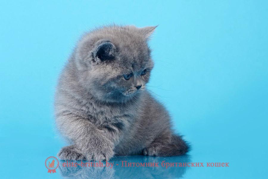 купить британского котенка, купить британца, британец голубой фото, голубые британцы фото, британский кошки голубой, британская голубая кошка, британская голубая кошка фото, британской голубой кошки фото, кот британский голубой, коты британские голубые, голубые британские котята фото, британский голубой котенок фото, британский голубой кот фото, фото британского голубого кота, окрас британских котят голубой фото, британские котята голубого окраса фото, британцы коты фото голубые