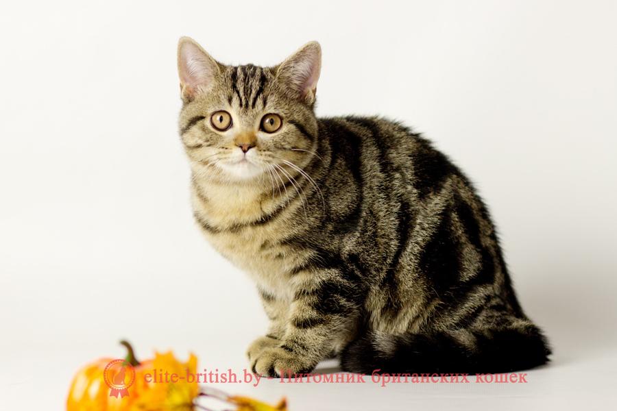купить британского котенка, купить британца, тигровая британская кошка, британец тигровый, британец табби тигровый, тигровый британский котенок, британский котенок тигрового окраса, британская тигровая кошка фото, тигровые британские котята фото, британский кот мраморный, мраморный британец, мраморный окрас британских котят, британский кот мраморного окраса, мраморный окрас британской кошки, британец мраморного окраса, котята британцы мраморный окрас, мраморный окрас британских котят, серебристый мраморный британец, британская мраморная кошка характер, британский кот мраморного окраса, британец голубой мрамор, британец черный мрамор на серебре, красный мраморный британец, британская мраморная кошка, мраморный окрас британской кошки, британские кошки черный мрамор, мраморная британская короткошерстная кошка, британские кошки мрамор на серебре, британский кот черный мрамор, британский кот мрамор на серебре, британский мраморный котенок, британские котята мрамор
